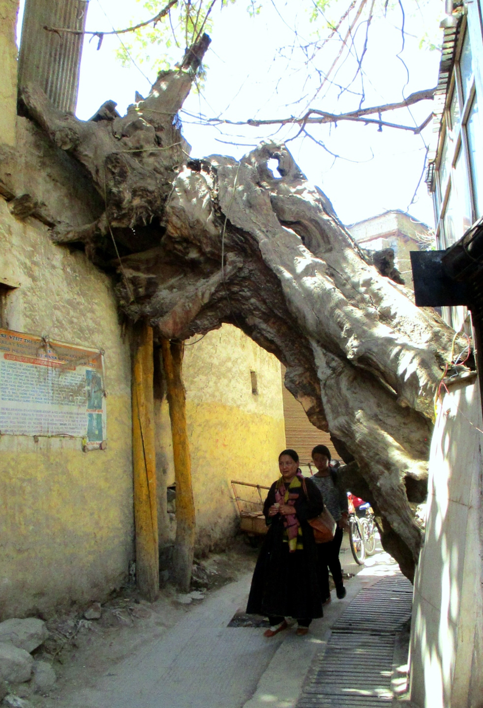 Branch of Sikh Sacred Tree - Planted by Guru Nanak in Leh, Ladakh